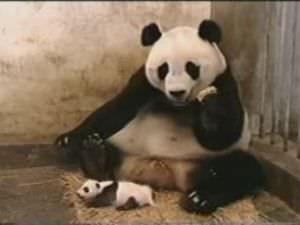 niezende baby panda geld verdienen met youtube