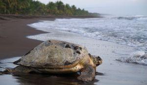 zeeschildpad costa rica wonen en werken